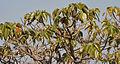 Gyrocarpus americanus Tree Canopy at Bhongir fort, AP W IMG 2970.jpg