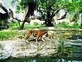 Hổ Đông Dương.jpg