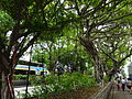 HK TST Nathan Road green Sidewalk Chinese Banyan trees Aug-2015 DSC (8).JPG