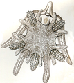 Haeckel Ophiodea 9 Ophiura albida.png