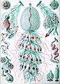Haeckel Siphonophorae 59.jpg