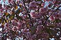 Hakodate Goryōkaku Park Sakura May 2016 2.jpg