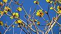 Handroanthus chrysotrichus (Mart. ex DC.) Mattos - Flickr - Alex Popovkin, Bahia, Brazil (14).jpg