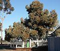 Hannan's Tree Kalgoorlie.jpg