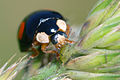 Harmonia axyridis eating an aphid (2603323389).jpg
