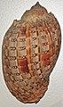Harpa doris (doris harp snail) 1 (24428063524).jpg