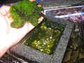 Harvesting (cleaning) algae that have grown in an algae scrubber.jpg