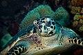 Hawksbill turtle, valentin's point, wakatobi, 2018 (44900126405).jpg
