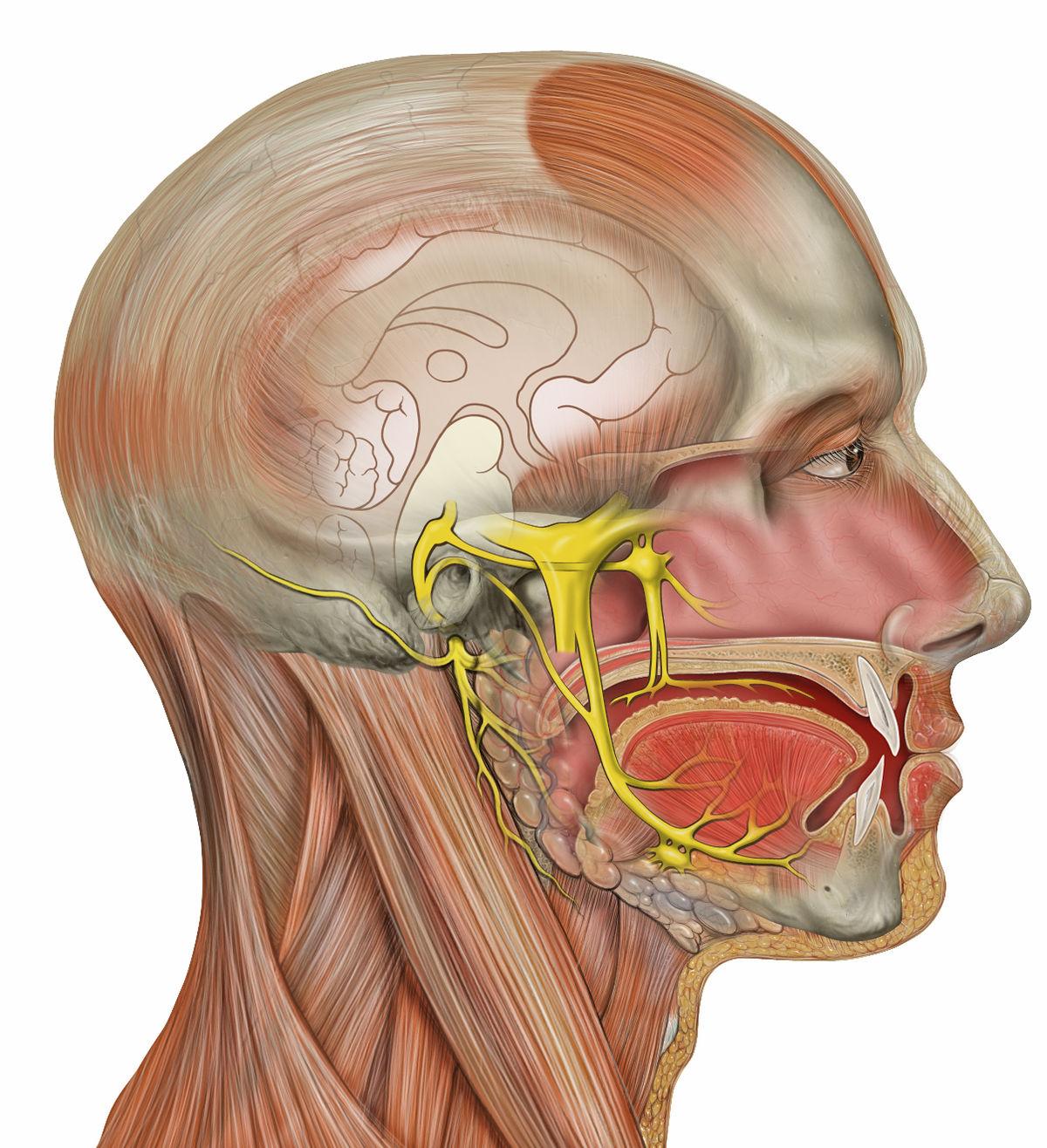 Nervio trigémino - Wikipedia, la enciclopedia libre