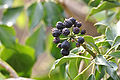 Hedera-helix-Fruchtstand 0084.jpg