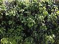Hedera helix with berries 01.jpg