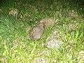 Hedgehogs in the garden (Apr 2020) 1.jpg