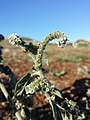 Heliotropium europaeum sl6.jpg