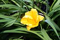 Hemerocallis Orange Gumdrops 4zz.jpg