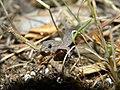 Hemidactylus frenatus (3791442852).jpg