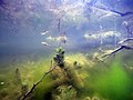 Herbier subaquatique d'eau douce de Ceratophyllum et algues filamenteuses lille aout 2018 a 02.jpg