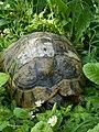 Hermann's tortoise boettgeri - Testudo hermanni - Шипоопашата костенурка.jpg