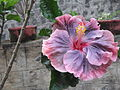 Hibiscus-rosa sinensis-Sunny brook-yercaud-salem-India.JPG