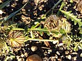 Hibiscus trionum sl56.jpg