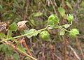 Hibiscus vitifolius 1.jpg