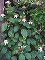 Hibiscus waimeae subsp. hannerae (5187567153).jpg