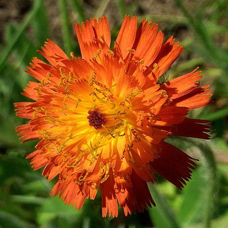 Wikijuniorsummer Flowers Of Northern New Englandyellow And Orange