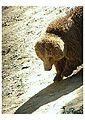 Himalay bear.jpg