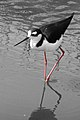 Himantopus mexicanus -Living Coasts, Torquay, England-8a.jpg
