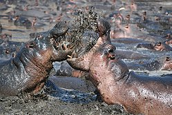 meaning of hippopotamus