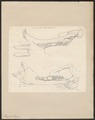 Hippopotamus amphibius - kaak - 1700-1880 - Print - Iconographia Zoologica - Special Collections University of Amsterdam - UBA01 IZ21900031.tif