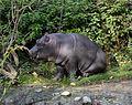 Hippopotamus amphibius juvenile Basel Zoo 28102013 3.jpg