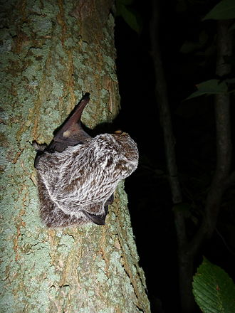 "Hoary bat - Juvenile male hoary bat on a tree, frosted ""hoary"" dorsal coloration visible"
