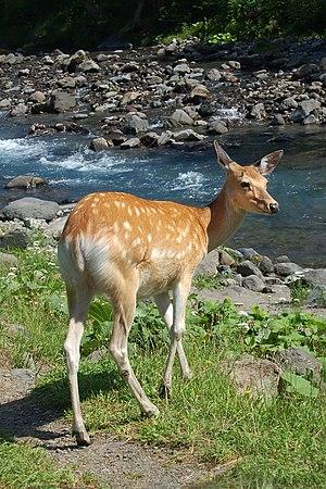 Sika deer - A Sika deer in Shiretoko Peninsula, Hokkaido, Japan.