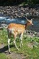 Hokkaido Sika Deer.jpg