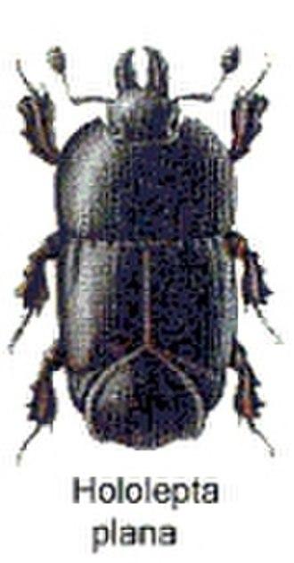 Histeridae - Hololepta plana