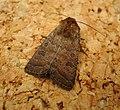 Hoplodrina blanda . Rustic (43333567135).jpg