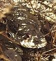 Horned lizard1.jpg