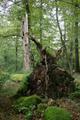Hosenfeld Himmelsberg SCI 555520801 Snag Coarse woody debris Fagus Windthrow Basalt.png
