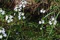 Hottonia palustris saint-michel-en-brenne 36 10052008 6.JPG