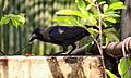 House Crow (Corvus splendens) in Shantinagar, Dhaka, Bangladesh, 17 March 2015.JPG