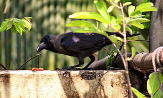 House crow - House crow resting in shadows on a rooftop with slaughterhouse refuse to eat.