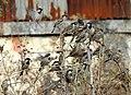 House Sparrow Passer domesticus flock by Raju Kasambe DSCN2160 (1) 09.jpg