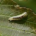 Hoverfly larvae - sp - Flickr - S. Rae.jpg