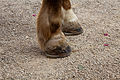 Hufprothese IMG 0350 edit.jpg