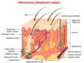 Human skin structure ku.png