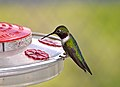 Hummingbird at Moqui Lookout (7699474376).jpg