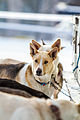 Hundene til Ketil Reitan (8435540389).jpg