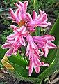 Hyacinthus orientalis (common hyacinth) (Newark, Ohio, USA) 2.jpg