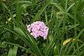 Hydrangea macrophylla 23zz.jpg