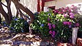 Hydrangeas at Curry County Fairground - panoramio.jpg